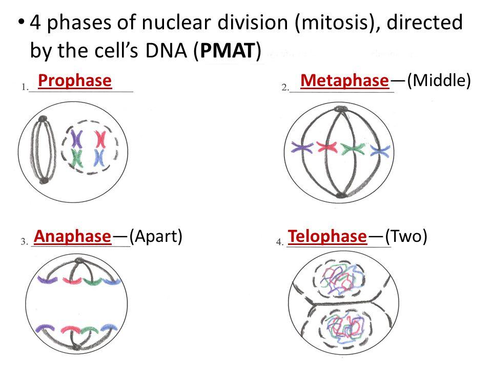 Mitosis Pmat Diagram Wiring Diagram Services