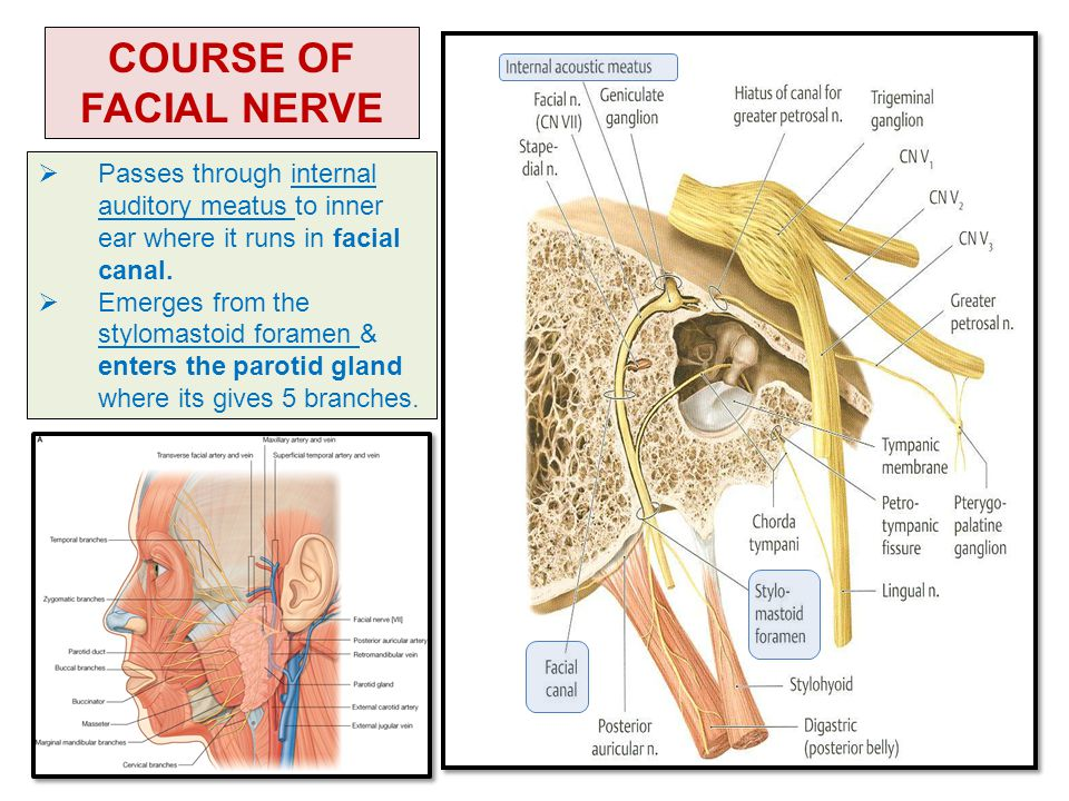 NERVE SUPPLY OF THE FACE 5TH & 7TH CRANIAL NERVES - ppt video online ...