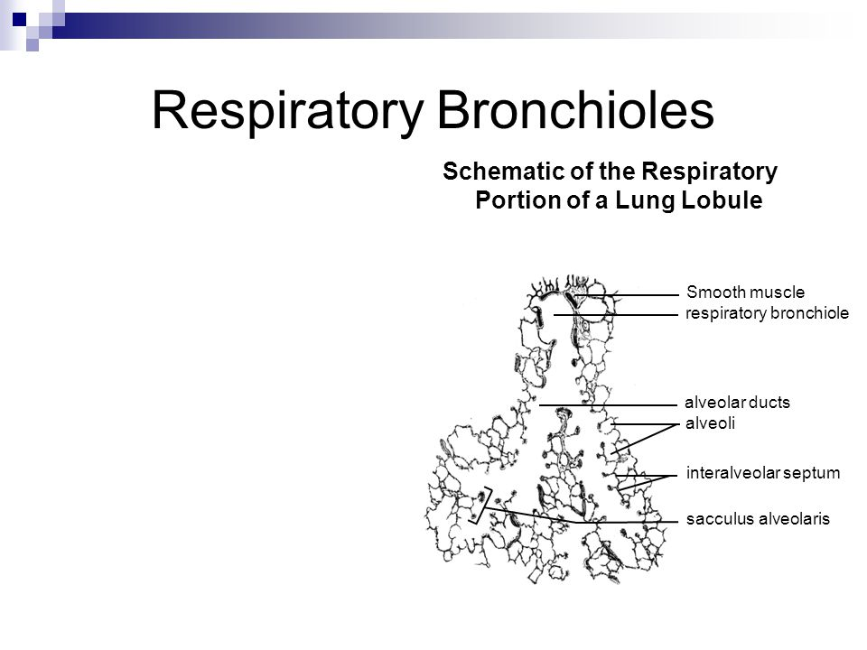 Histology Of The Respiratory System Ppt Video Online Download