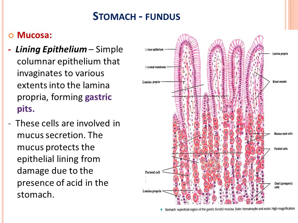 Histology of digestive system oesophagus, stomach-fundus & pylorus ...
