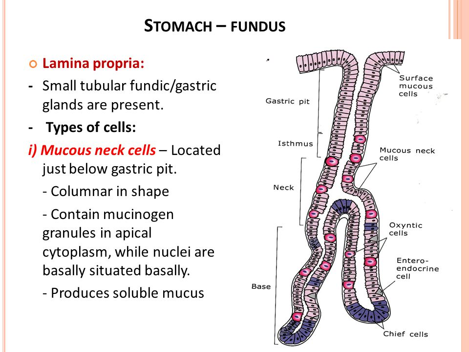 Histology of digestive system oesophagus stomach fundus pylorus 22 stomach fundus ccuart Gallery