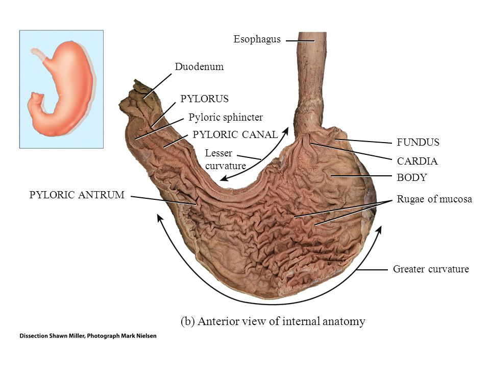 Principles of anatomy and physiology ppt video online download b anterior view of internal anatomy ccuart Choice Image