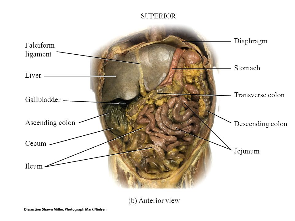 Principles of anatomy and physiology ppt video online download superior diaphragm falciform ligament stomach liver transverse colon gallbladder ascending ccuart Gallery
