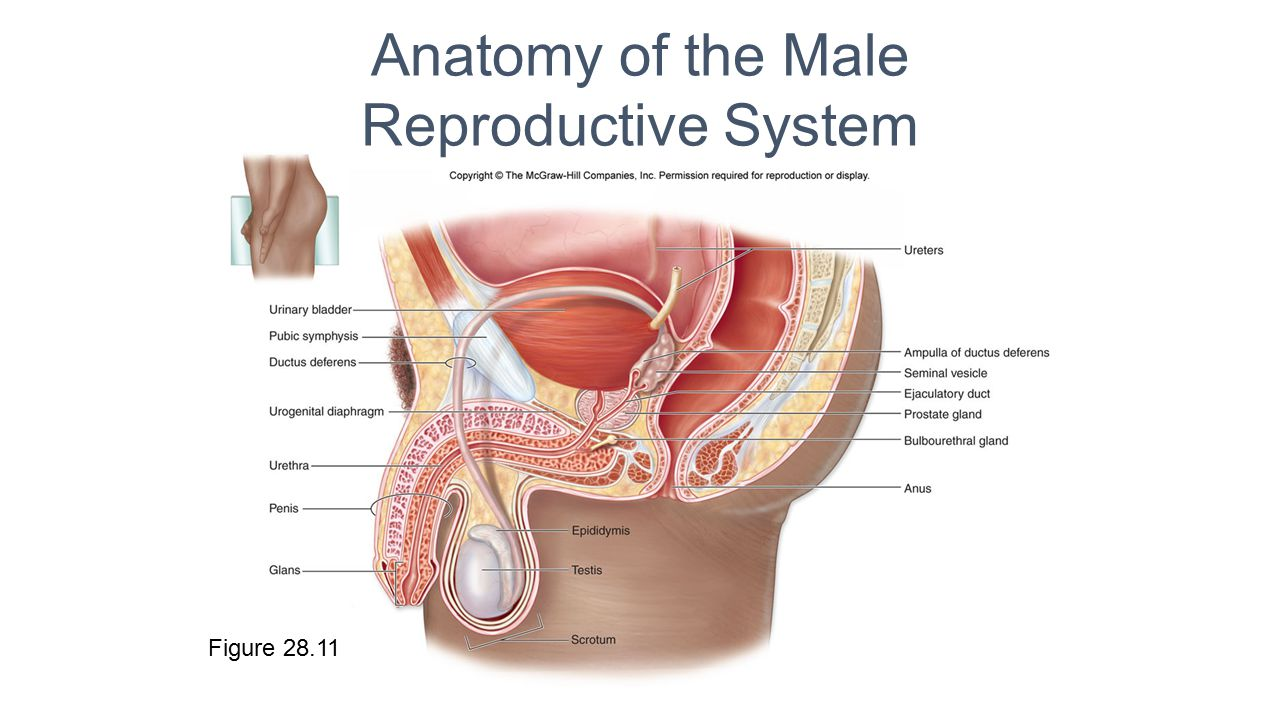 Male Reproductive System Ppt Video Online Download