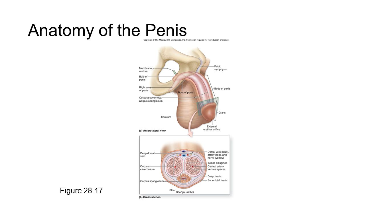 MALE REPRODUCTIVE SYSTEM - ppt video online download