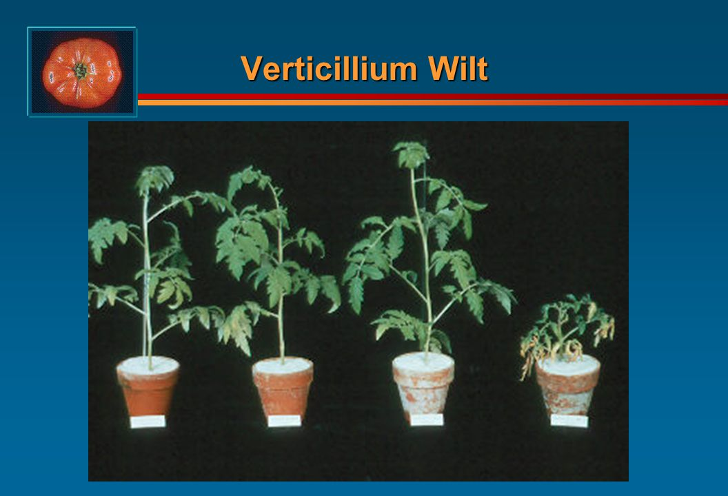 Tomato Diseases Fungal Bacterial Viral - ppt video online