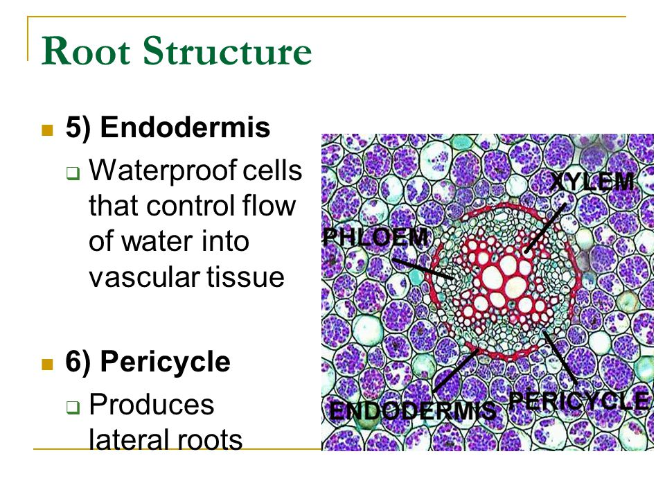 Root Structure 5) Endodermis