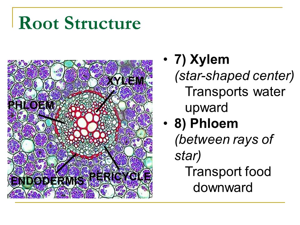 Root Structure 7) Xylem (star-shaped center) Transports water upward