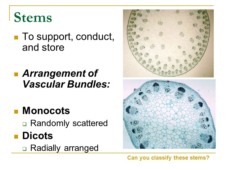 Stems To support, conduct, and store Arrangement of Vascular Bundles: