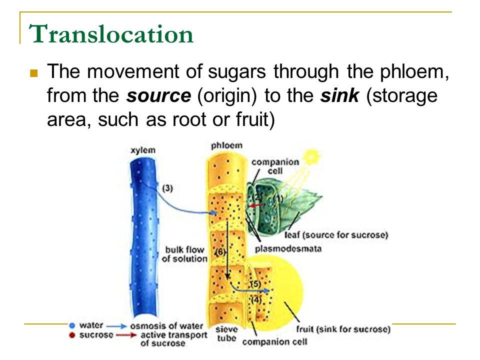Translocation The movement of sugars through the phloem, from the source (origin) to the sink (storage area, such as root or fruit)