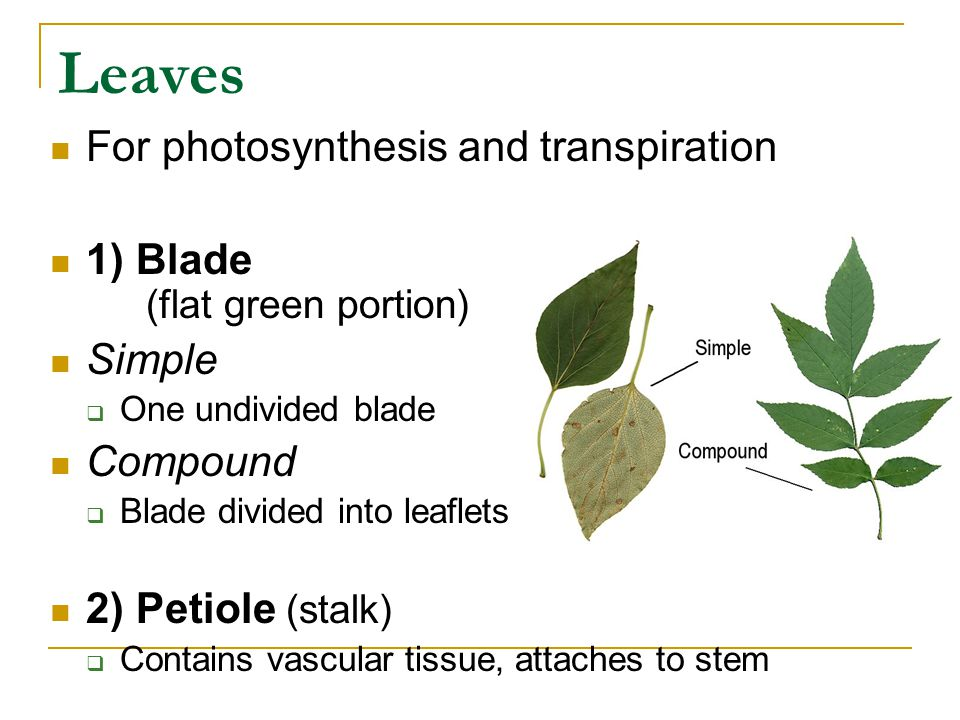 Leaves For photosynthesis and transpiration