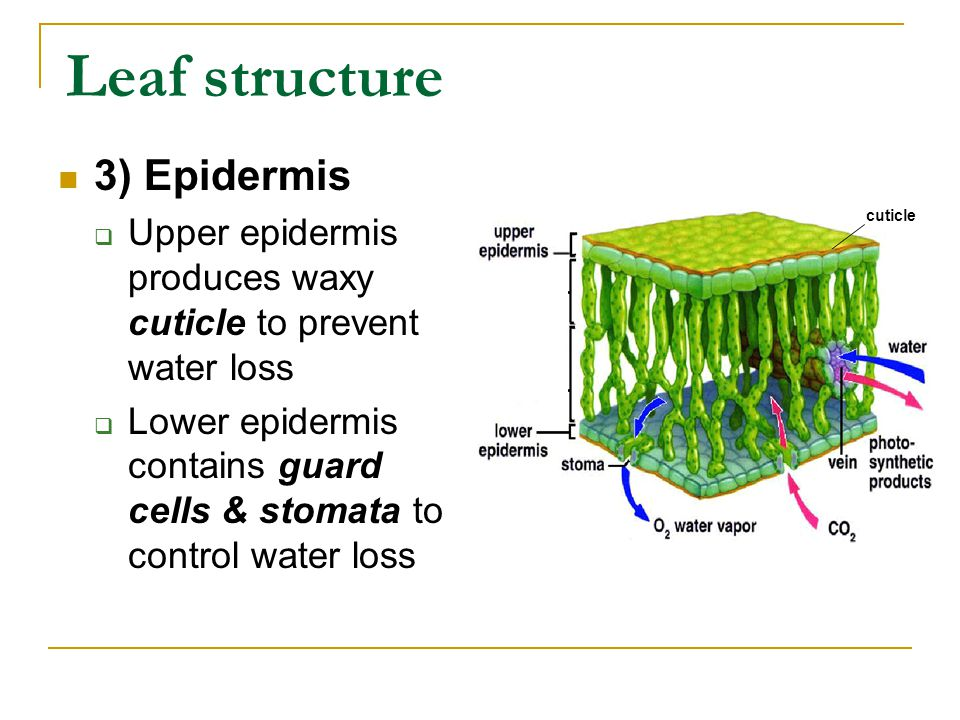 Leaf structure 3) Epidermis