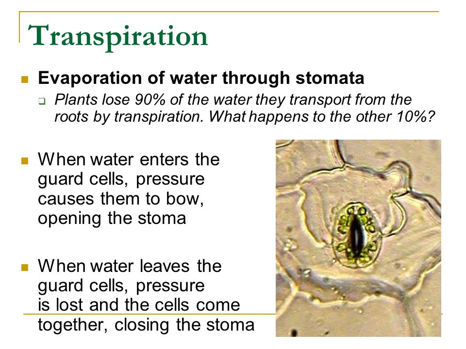 Transpiration Evaporation of water through stomata