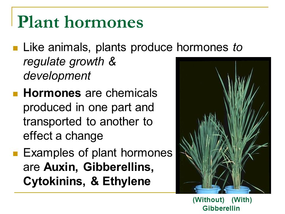 Plant hormones Like animals, plants produce hormones to regulate growth & development.