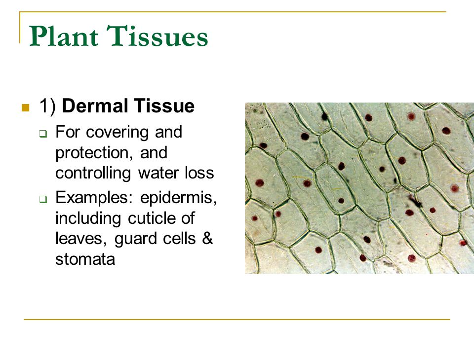 Plant Tissues 1) Dermal Tissue