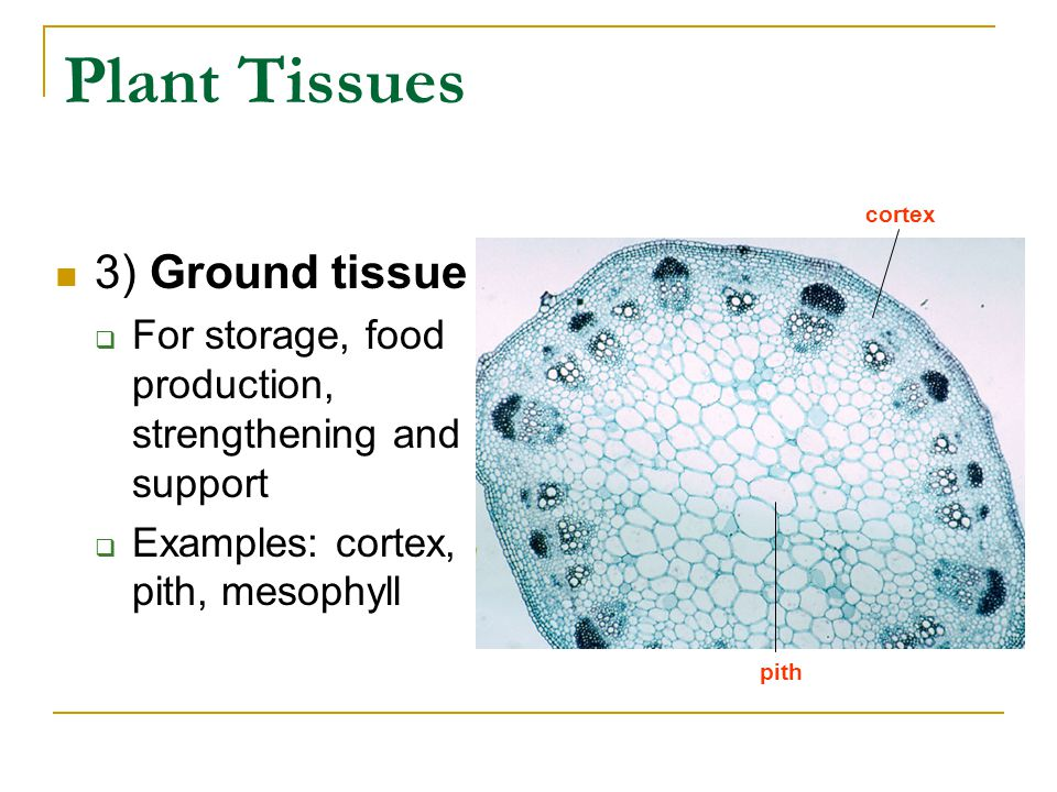 Plant Tissues 3) Ground tissue