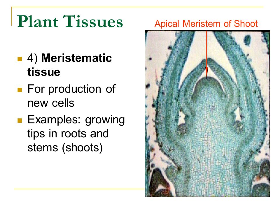 Plant Tissues 4) Meristematic tissue For production of new cells