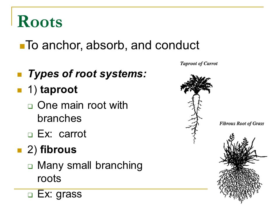 Roots To anchor, absorb, and conduct Types of root systems: 1) taproot