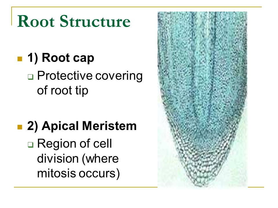 Root Structure 1) Root cap Protective covering of root tip
