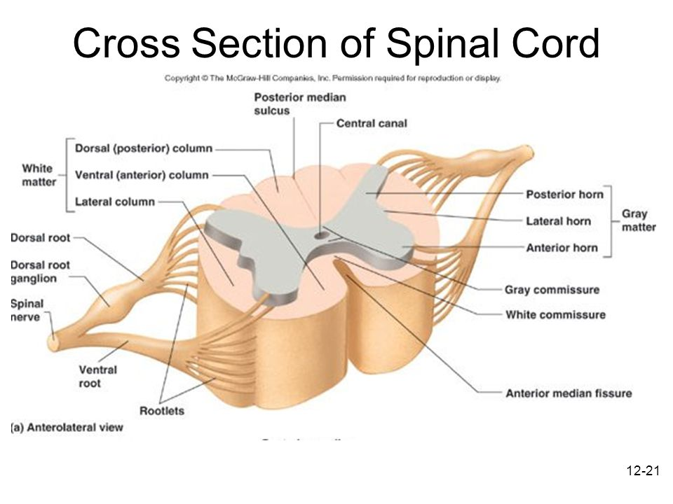 Sectional View Of Labeled Diagram Of Spinal Cord - Complete Wiring ...