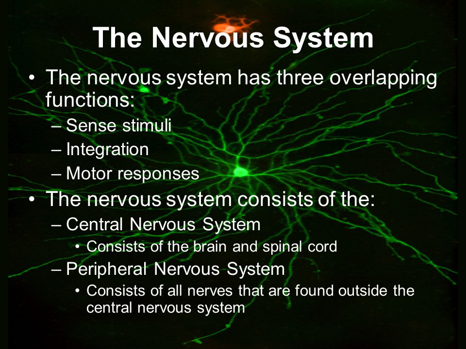 Chapter 39 the human nervous system ppt video online download the nervous system the nervous system has three overlapping functions toneelgroepblik Images