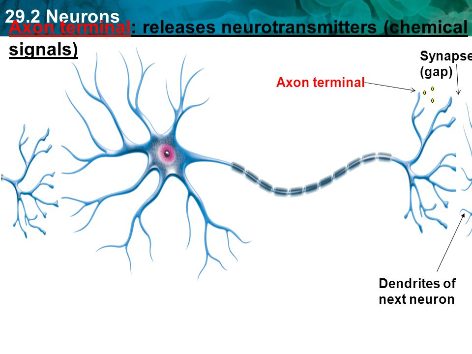 Axon terminal: releases neurotransmitters (chemical signals)