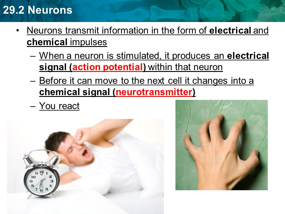 Neurons transmit information in the form of electrical and chemical impulses