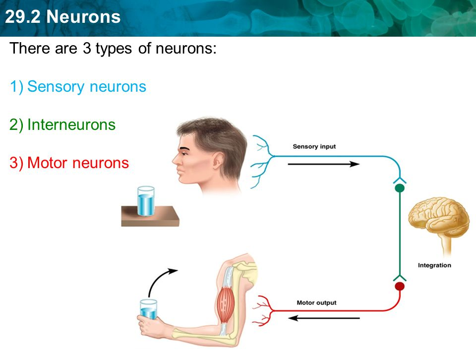 There are 3 types of neurons: