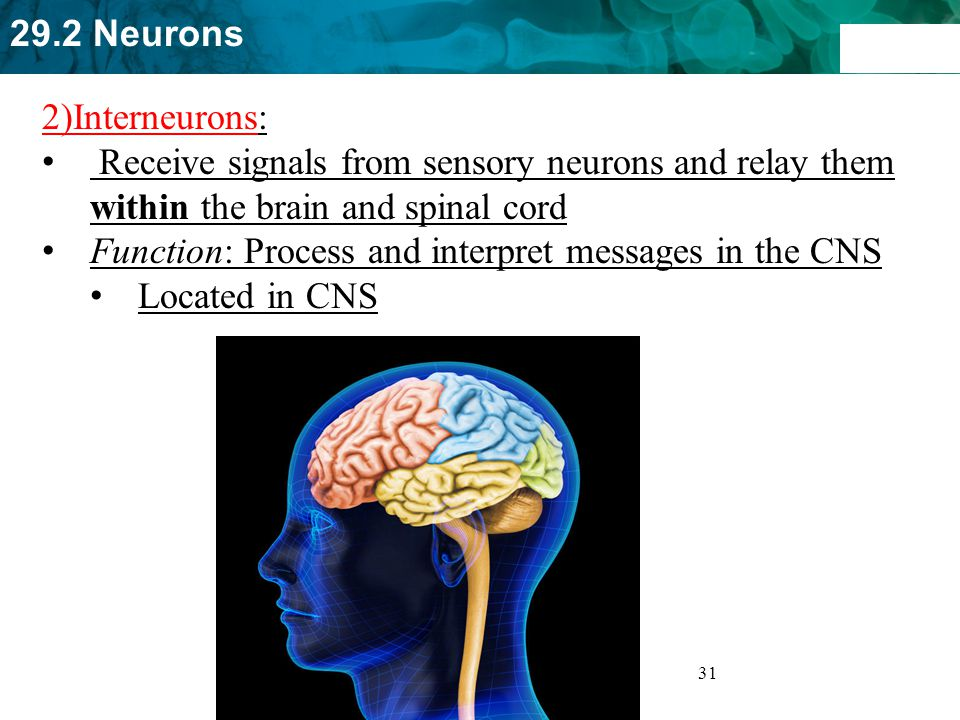 2)Interneurons: Receive signals from sensory neurons and relay them within the brain and spinal cord.