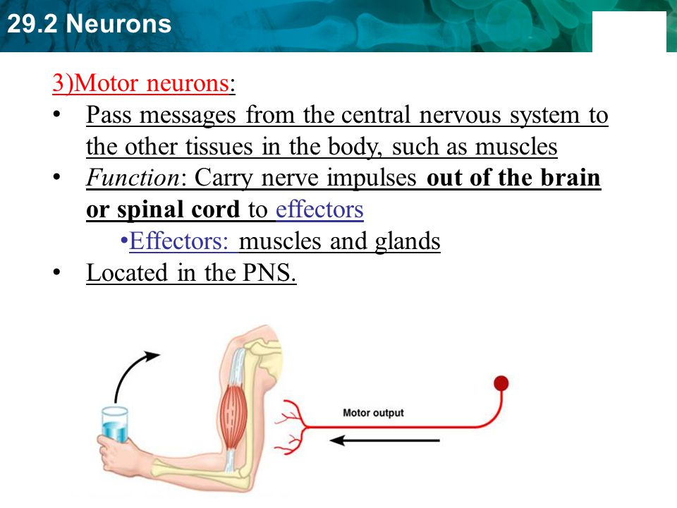 3)Motor neurons: Pass messages from the central nervous system to the other tissues in the body, such as muscles.