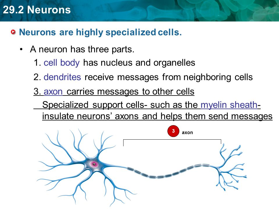 Neurons are highly specialized cells.