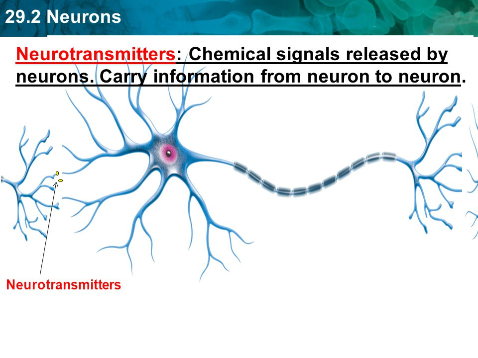 Neurotransmitters: Chemical signals released by neurons