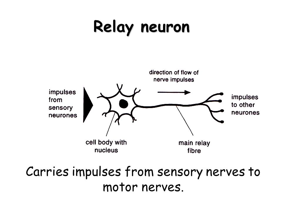 Carries impulses from sensory nerves to motor nerves.