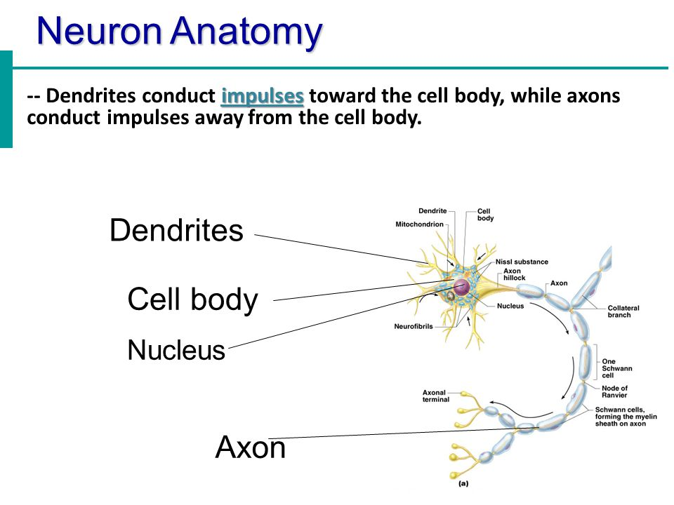 Neuron Anatomy Dendrites Cell body Axon Nucleus