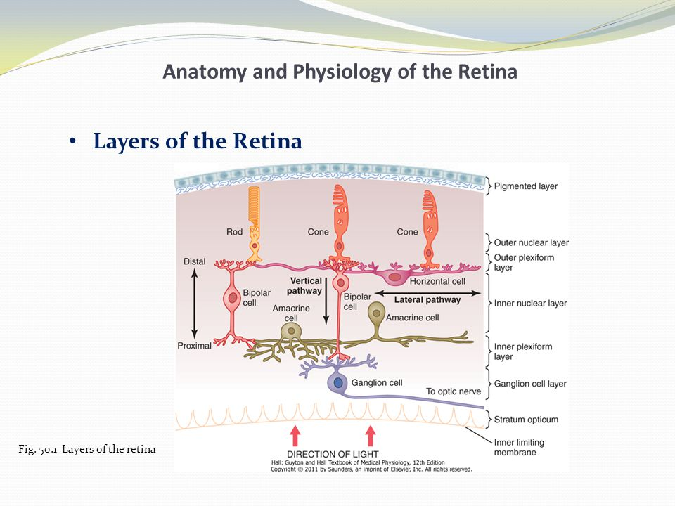 Perfect Retinal Anatomy And Physiology Photo - Anatomy And ...