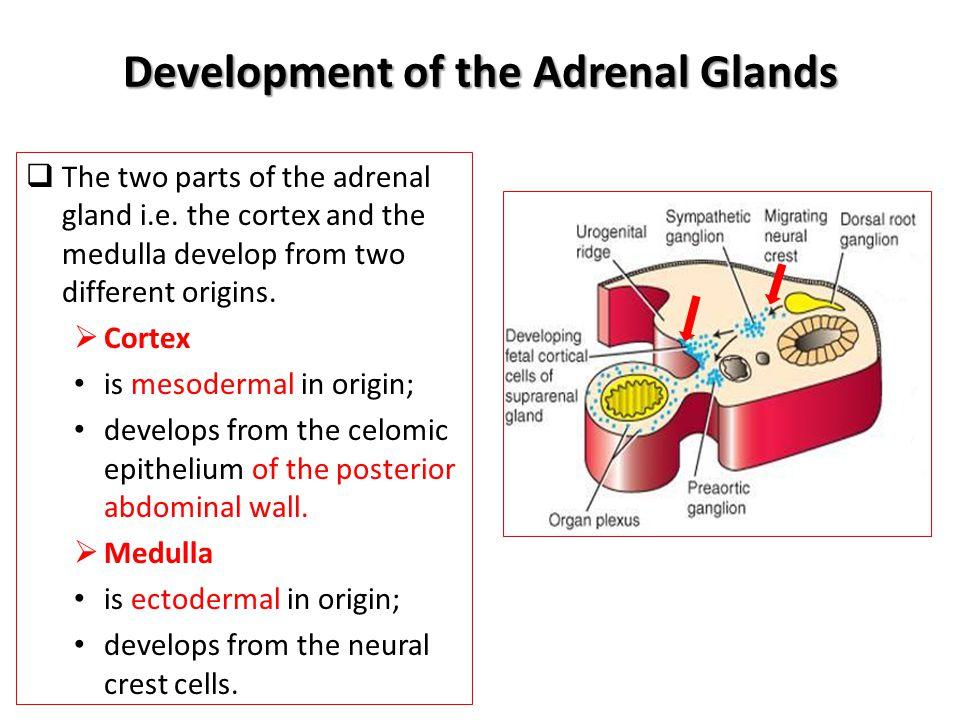 Adrenal Suprarenal Glands Anatomy Embryology Ppt Video Online