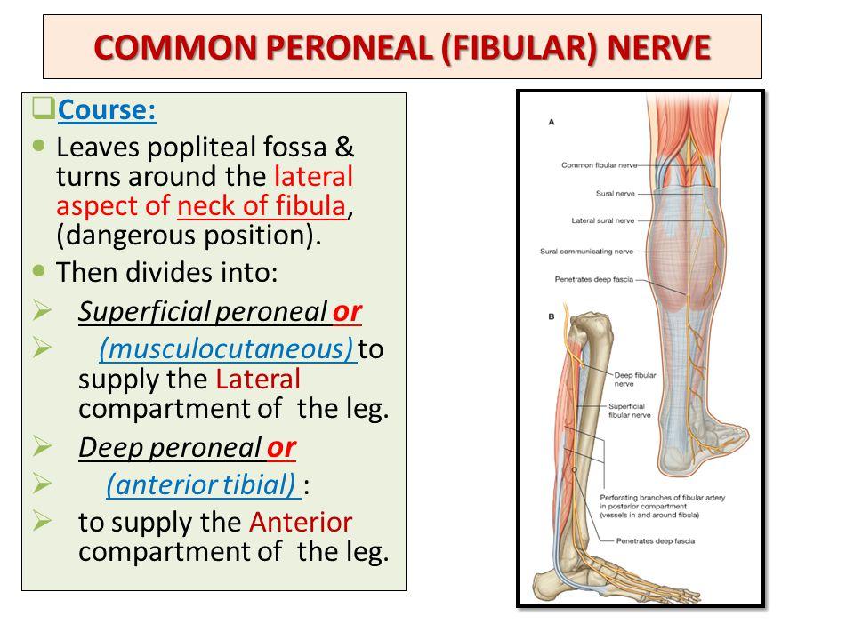 Lumbosacral plexus Sciatic and Femoral nerves - ppt video online ...