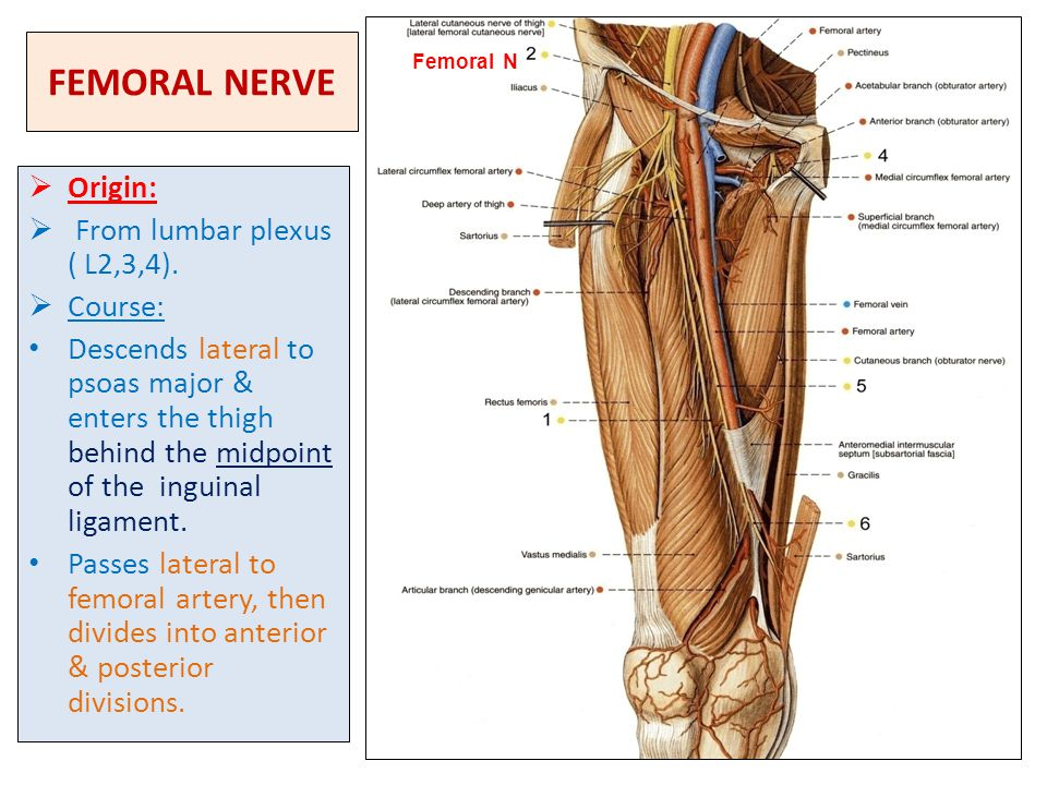 Lumbosacral Plexus Sciatic And Femoral Nerves Ppt Video Online