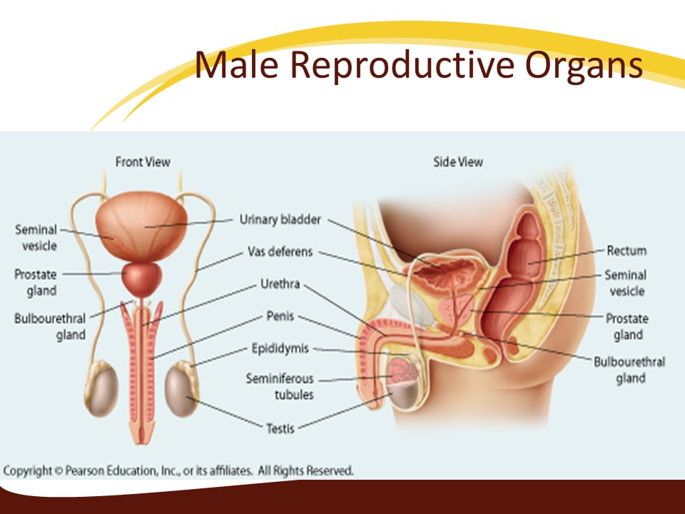the reproductive system ppt video online download rh slideplayer com female reproductive system study guide answers female reproductive system study guide answers
