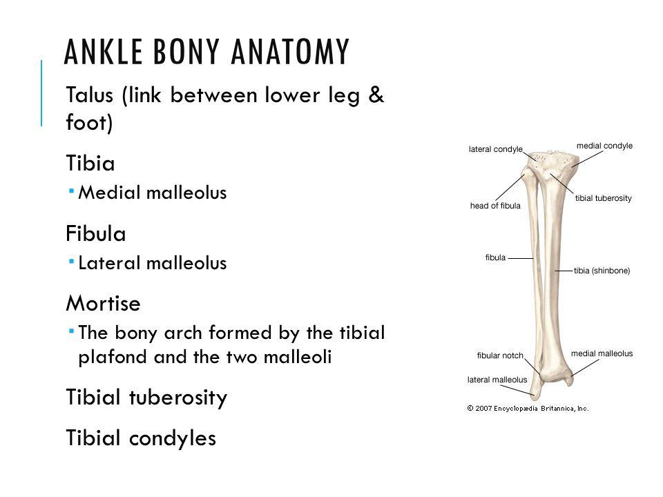 Beautiful Anatomy Tibia Fibula Frieze Internal Organs Diagram