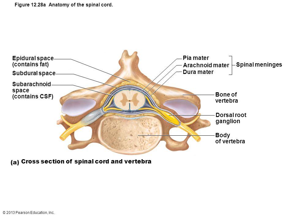 12 The Central Nervous System: Part D  - ppt video online