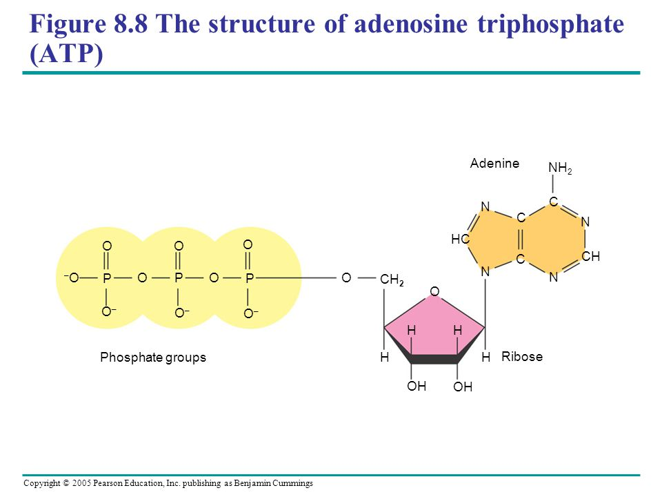 Figure 8.8 The structure of adenosine triphosphate (ATP)