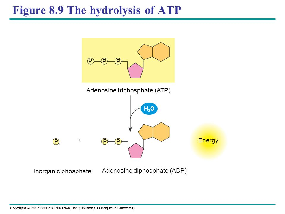 Figure 8.9 The hydrolysis of ATP