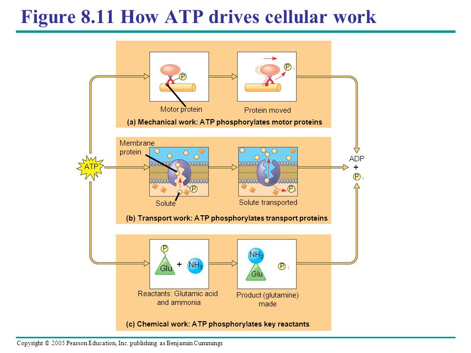 Figure 8.11 How ATP drives cellular work