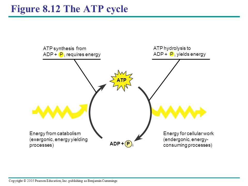 Figure 8.12 The ATP cycle ATP synthesis from ADP + P i requires energy