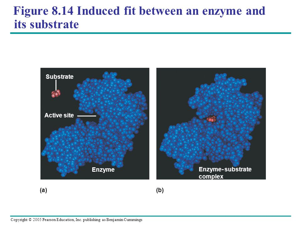 Figure 8.14 Induced fit between an enzyme and its substrate
