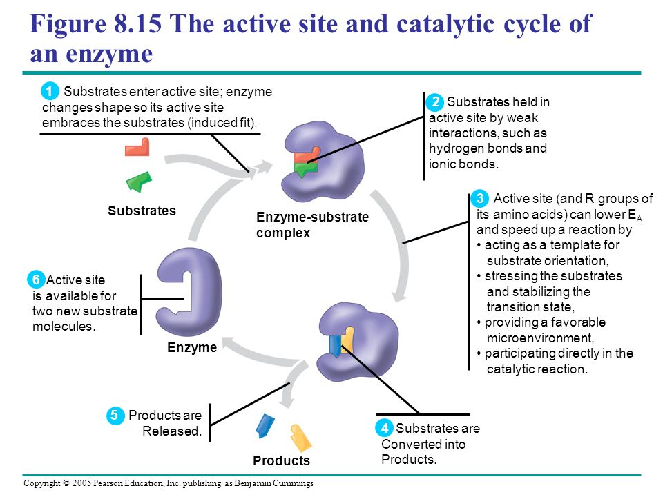 Figure 8.15 The active site and catalytic cycle of an enzyme
