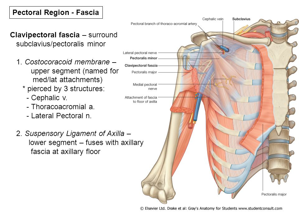 PECTORAL REGION AND SHOULDER. - ppt video online download