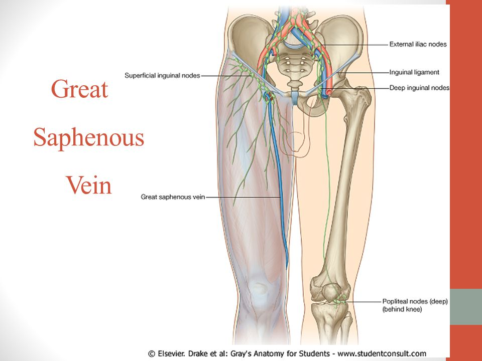 Awesome Great Saphenous Vein Anatomy Model - Anatomy And Physiology ...
