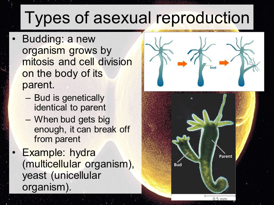 Process of mitosis in asexual reproduction how many parents